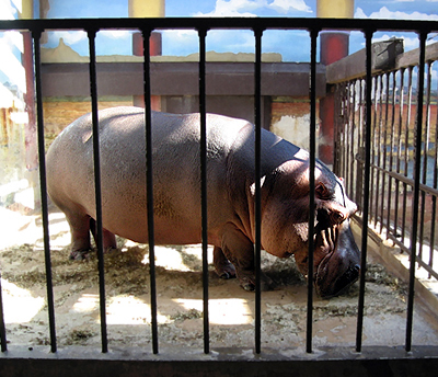 A hippotamus in the National Zoo in Washington DC.